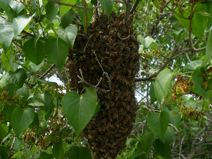 Swarm in Lilac 2